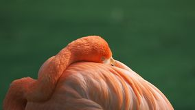 Close up view of a red flamingo resting with head in wings while looking at camera with one eye. Close up view of a red flamingo resting with head in wings stock video