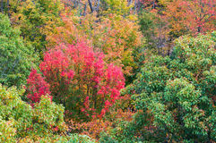 Close up view of red, green and yellow-colored fall trees Royalty Free Stock Image