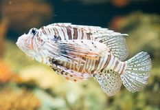 Close-up view of Red lionfish. Pterois volitans. Stock Photography