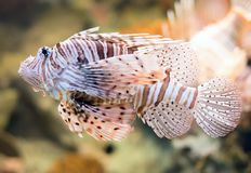 Close-up view of Red lionfish. Pterois volitans. Royalty Free Stock Photography