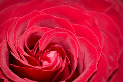 Close-up view of red rose Stock Images