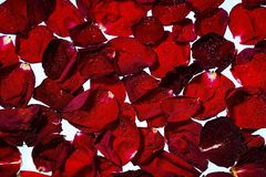 Close up view of red rose petals on white water background. Gorgeous backgrounds.  royalty free stock photo