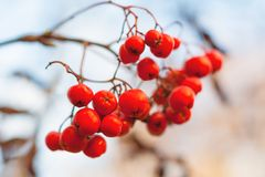 Close up view of a red rowan berries. Against the background of dry branches and a gray sky in bokeh Royalty Free Stock Photos