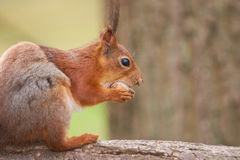 Close up view of a red squirrel eating a nut Royalty Free Stock Photography