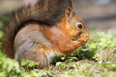 Close up view of red squirrel eats seed on grass Stock Photos