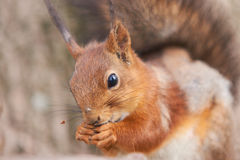 Close up view of red squirrel gnawing a seed Stock Image