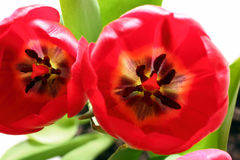 Close-up view on red tulips Stock Photo