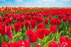 Close-up view of red tulips during sunny day Stock Image