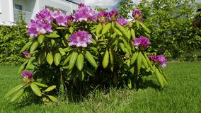 Close up view of rhododendron flower blooming on green grass background. Beautiful backgrounds stock video footage