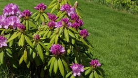 Close up view of rhododendron flower blooming on green grass background. Beautiful backgrounds stock footage