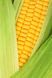 Close-up view of ripe corn on the cob among green leaves Stock Photos