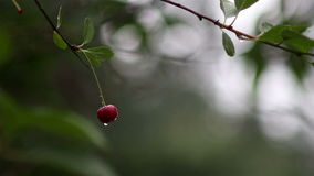Close-up view on ripe red cherries shaking on the wind after rain stock footage