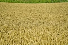 Close-up view of ripe wheat ears Royalty Free Stock Image