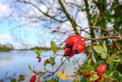 Close-up view of ripened Rosehip berries seen by the side of a large lake in winter. royalty free stock image
