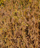Close-up view of Ripening Soybeans Stock Photography