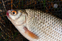 Close up view of roach fish just taken from the water. Stock Images