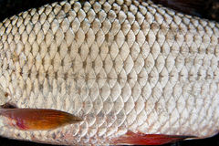 Close up view of roach fish just taken from the water. Roach Fis Stock Photo