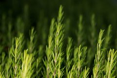 Close up view of rosemary plant Stock Photo