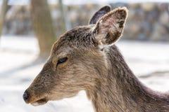 Close up view of sacred deer in Miyajima island, Japan. Stock Photos