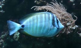 Close-up view of a Sailfin tang Stock Images