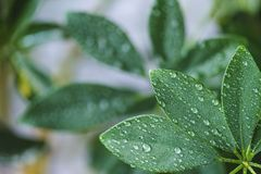 Close up view of schefflera with green leaves and water drops. On blurred background stock photo