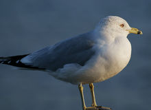 Close-up view of seagull Stock Photos
