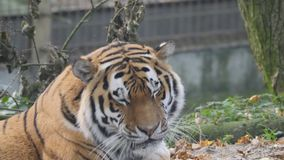 Close up view of a Siberian tiger stock footage