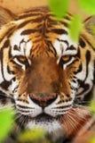 Close up of a Siberian tiger Panthera tigris altaica. Close up view of a Siberian tiger Panthera tigris altaica Stock Photography
