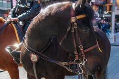 Close up view of the side of a beautiful police horse`s head and neck stock image