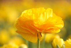 Beautiful Ranunculus flower in a field blooms in bright yellow color royalty free stock photography