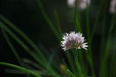 Close up view of a single Chive blossom royalty free stock photo