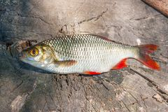 Close up view of single common rudd fish on natural vintage wood Stock Image