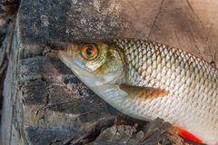 Close up view of single common rudd fish on natural vintage wood Royalty Free Stock Photos