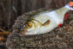 Close up view of single common rudd fish on natural vintage wood Stock Photo