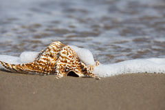 Close up view of a single Conch Shell on the Beach Royalty Free Stock Photo