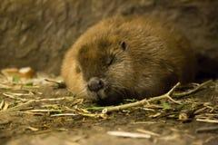 Close up view. Sleeping female beaver Stock Photo