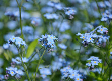 Close up view of small blue spring flowers. The group of small blue spring flowers on a green grass background royalty free stock photography