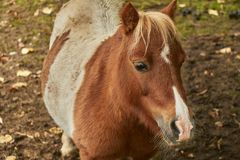Close up view of a small brown spotted pony standing on brown soil. royalty free stock photos