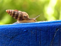 Spiral shell snail. A close-up view of a small spiral shell snail on the edge of a blue plastic pot Royalty Free Stock Photography