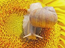 Close up view on the snail sits on the sunflower Royalty Free Stock Photo