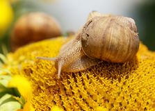 Close up view on a snail sits on the sunflower head Stock Photos