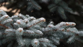 Close up view of snow falling on branches of pine tree. stock footage