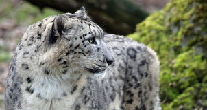 Close-up view of a Snow leopard Royalty Free Stock Image