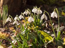 close up view of snowdrops on forest floor below tree pretty flo royalty free stock images