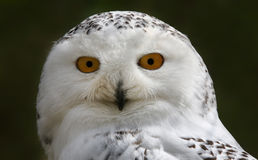 Close-up view of a Snowy Owl Stock Images
