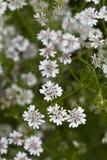 Hemlock Water Dropwort. Close up view of some beautiful Hemlock Water Dropwort (Oenanthe crocata) wildflowers Stock Image