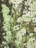 Close up view of some dry moss and lichen on a tree Stock Image