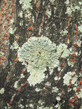 Close up view of some dry moss and lichen on a tree Stock Photos