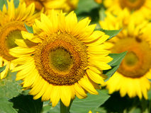 Close-up view of some sunflower  Royalty Free Stock Photos
