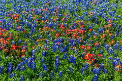 A Close up View of  some Texas Bluebonnets and Indian Paintbrush Wildflowers. A Close Up View of a Section of a Beautiful Field Blanketed with the Famous Texas Royalty Free Stock Photo